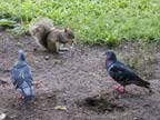 Squirrel and pigeons
