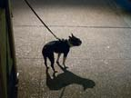 Shadow dog